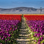 turkey-tulip-yard-tours